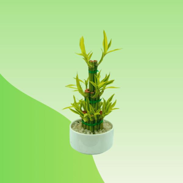 Buy Dracaena Lucky Bamboo 3 Layer Online