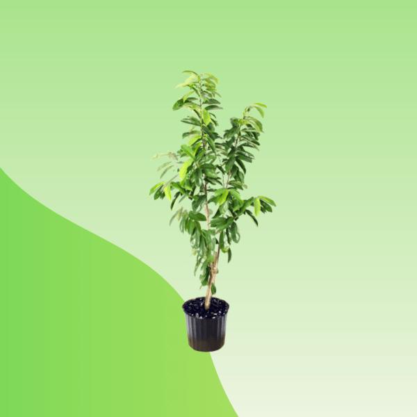Buy Graviola Plant Online
