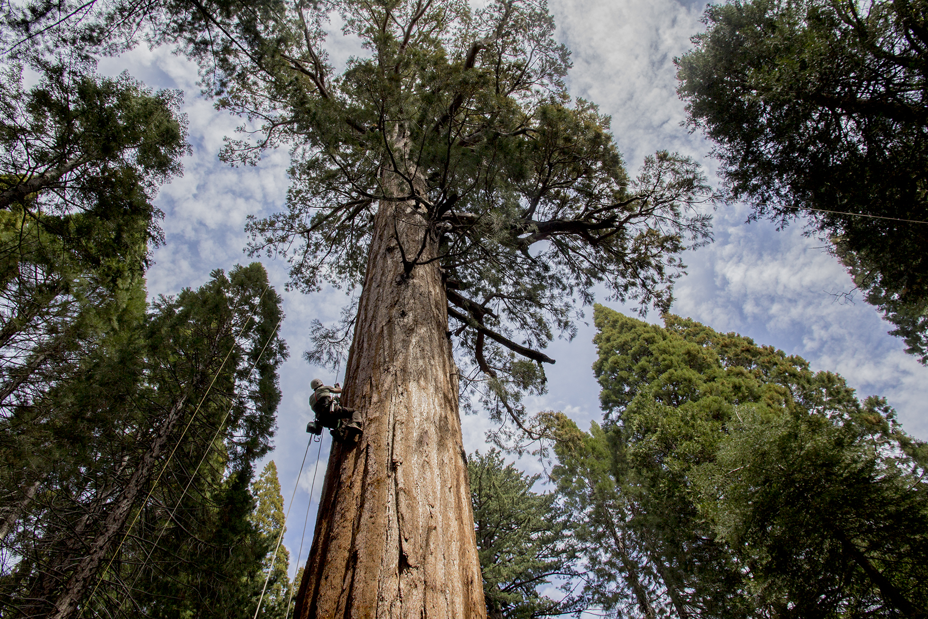 __1 redwoods