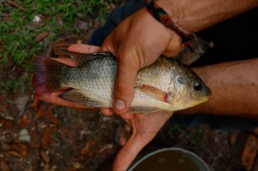 Blue Tilapia evaluation in Malaysia, 2009