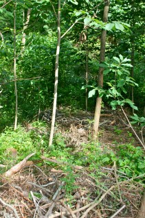 Chop and Drop at Treasure Lake, mulching native forest tree crops: Paw Paw, Kentucky, 2014