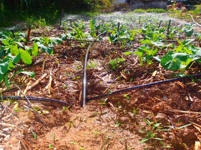 brassicas-being-watered-by-irrigation-heredade-de-lage