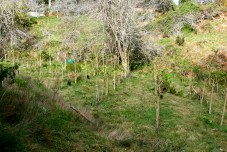 tamarillo orchard from side