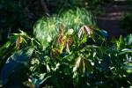 White Sapote new growth
