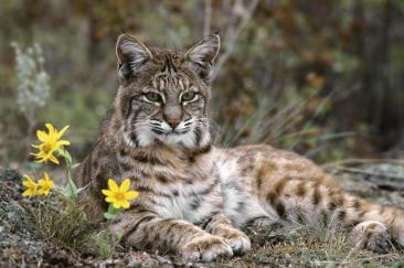 Iberian Lynx, a predator in the former ecosystem, from https://bovingtoninspain.files.wordpress.com/2012/04/iberian-lynx.jpg