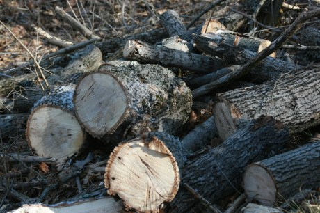 Firewood from felled ash trees, note the holes in the tree from the emerald ash borer