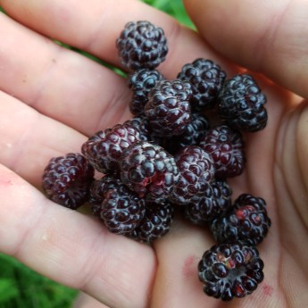 native black capped raspberry that went in Annie's CSA fruit add on