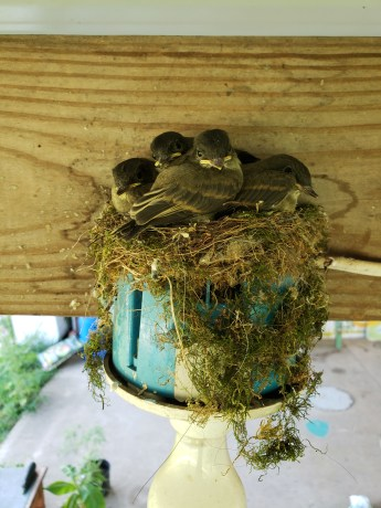 Phoebe babies in the same nest spot as last year on the back patio of the bar