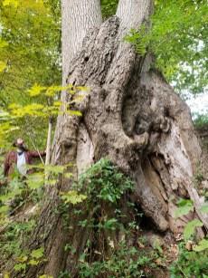Hard to hug this one, Shumard Oak, Treasure Lake, KY