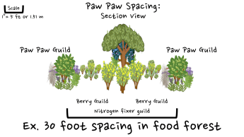 404 paw paw spaing in food forest