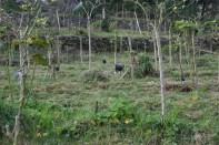 tamarillo Orchard
