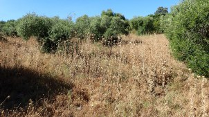 the olives where earthworks will be done