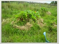 raised beds in our Ditch and mound channel system to drain water. New Zealand 2007. cool season crops of Chard planted.