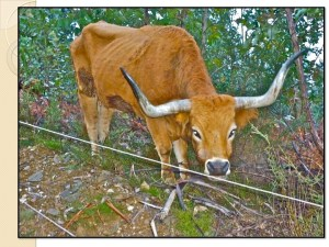 mountain cow portugal rotational grazing