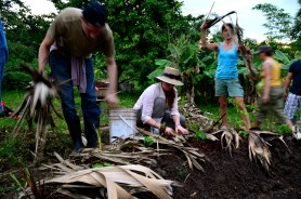 placing chopped palm fronds on a papaya circle