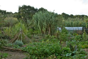 Garden image of Terra Alta, lemongrass foreground central, sugar cane background left, canas top right