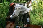 swarm harvesting and putting them in a box to transfer them to their next home