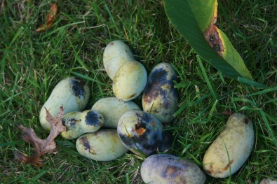 First real harvest after 8 years from these seedling paw paws, Parents backyard, Cincinnati, OH, USA
