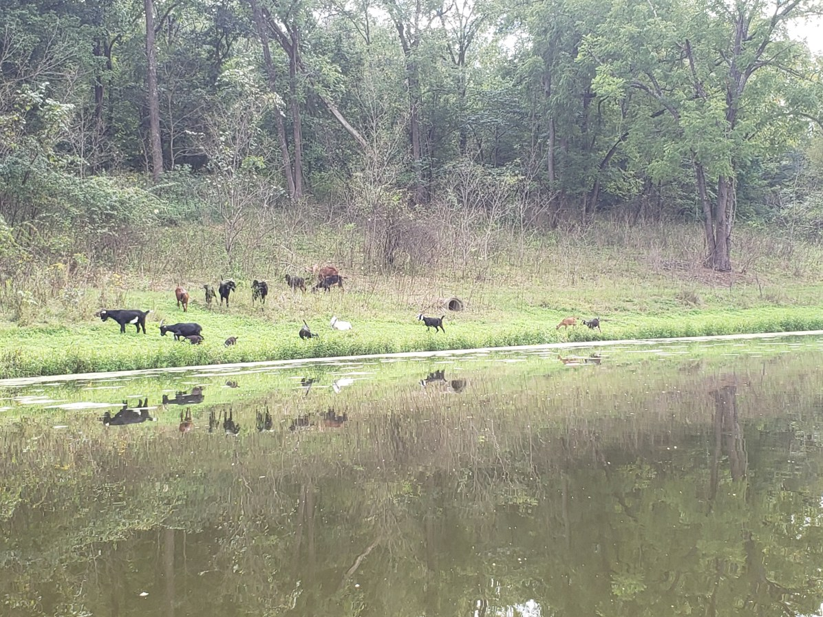 Obvious animal impact later on in grazing after numerous moves, Treasure Lake 2018