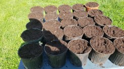 Paw Paw seeds in Pots