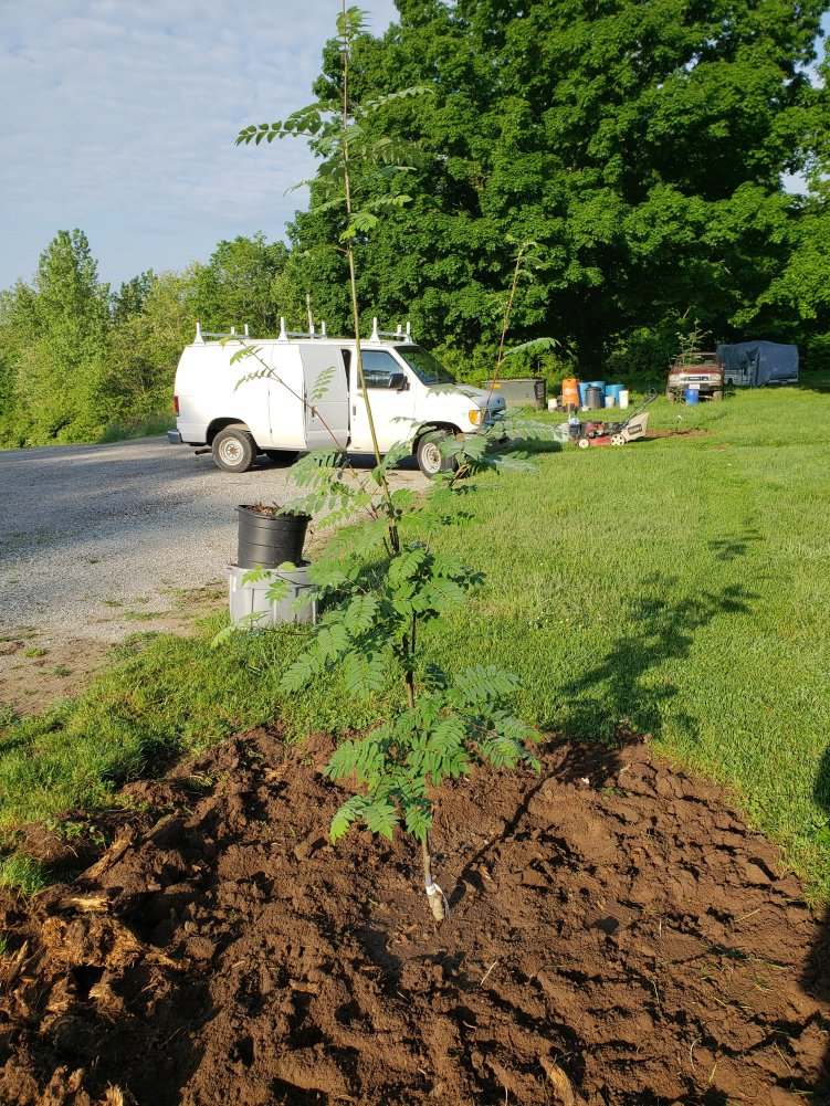 permaculture guild after rowan tree planting