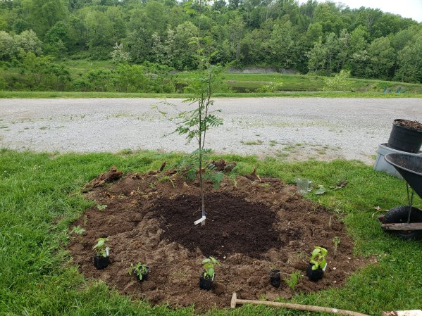 permaculture guild tree with plants laid out