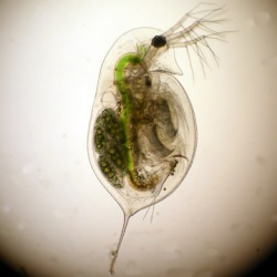 zooplankton which feed off of phytoplankton