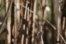 Jerusalem artichokes stalks