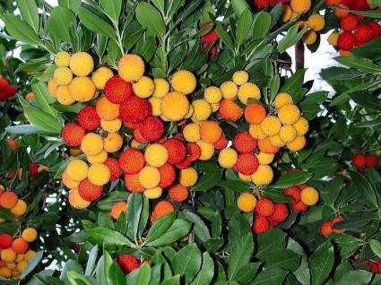 Strawberry Tree Ripening