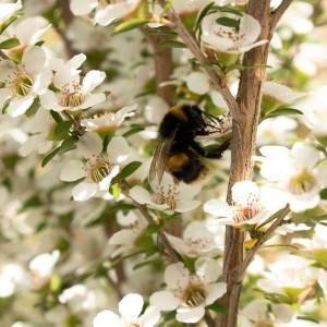 Bumble Bee taking pollen from Manuka bush