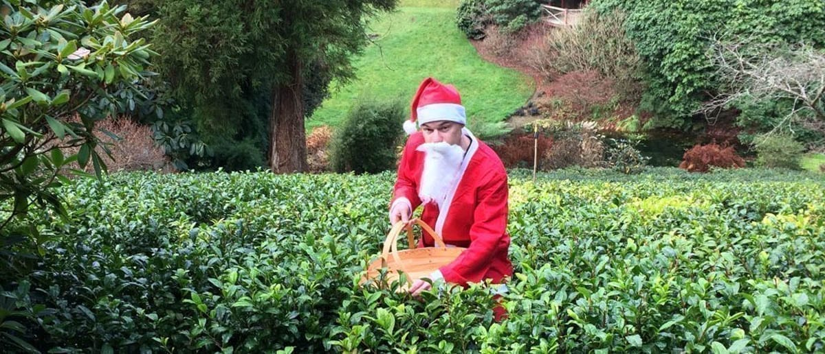 Father Christmas Plucking Tea in our Himalayan Valley Tea Plantation