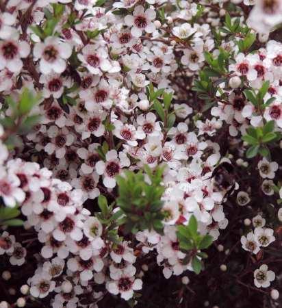 Manuka Flower Bush Bee
