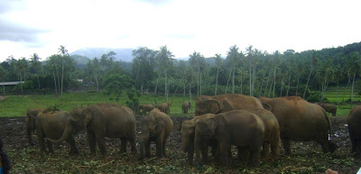 Pinnawela elephant orphanage - Srilanka