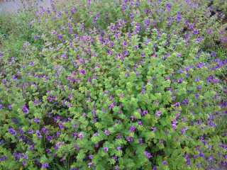 purple flowers Kaas plateau