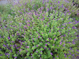 wild purple flowers Kas plateau