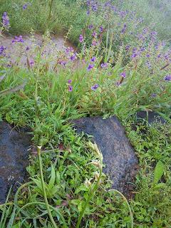 wild flowers Kaas plateau satara