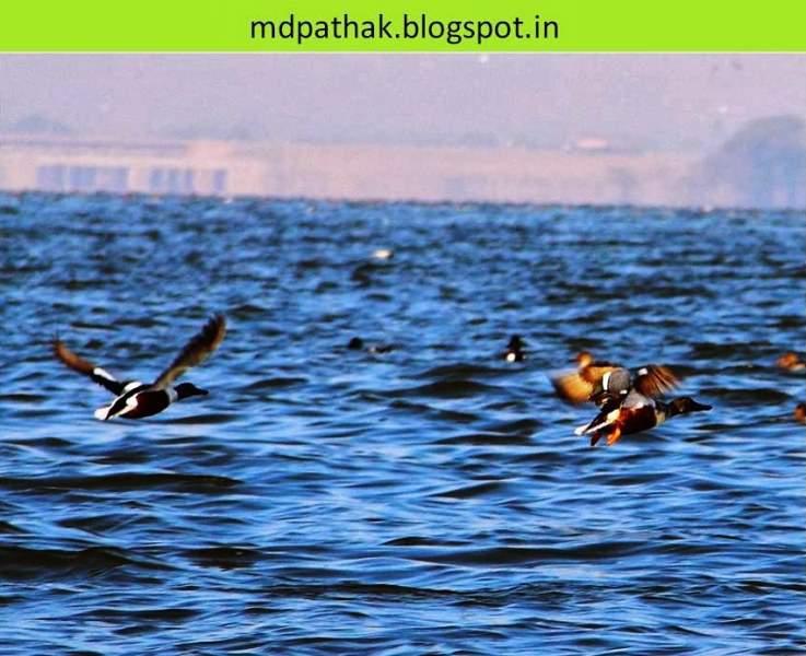 brahmani duck bhigwan