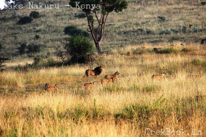 lion and family at lake nakuru