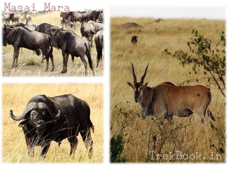 masai mara buffalo wildebeest Eland