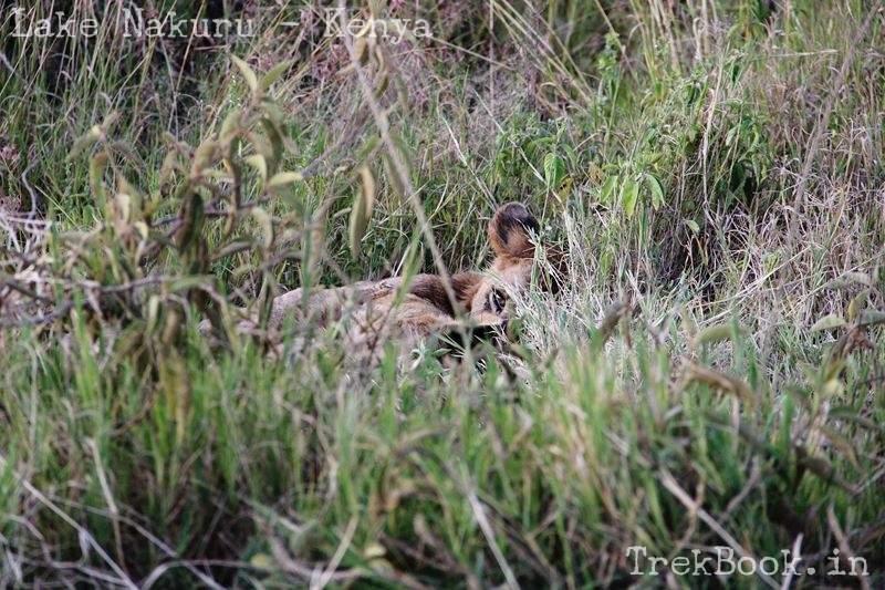 spot the lion cub