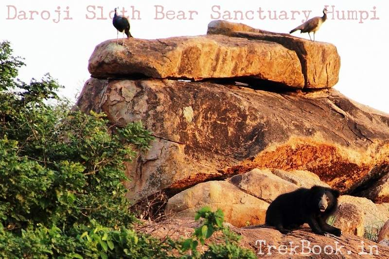Alert due to photo click Daroji Sloth Bear Sanctuary Humpi