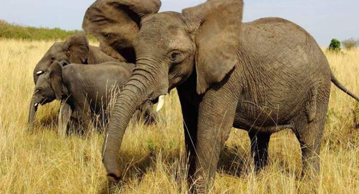 masai mara african elephants in attacking mood on safari van
