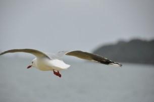 Gull Friend
