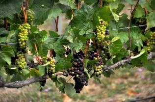 Good looking grapes!