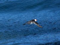A puffin in flight