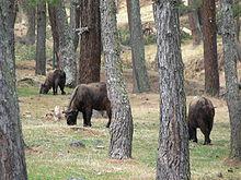 Bhutans national animal the Takin