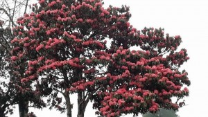 Rhododendron arb ssp arb