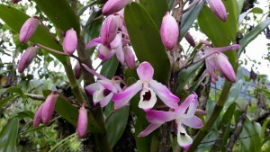 Dendrobium nobile, State Flower of Sikkim.