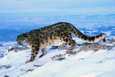 Nieve Leopardo Kanchenjunga