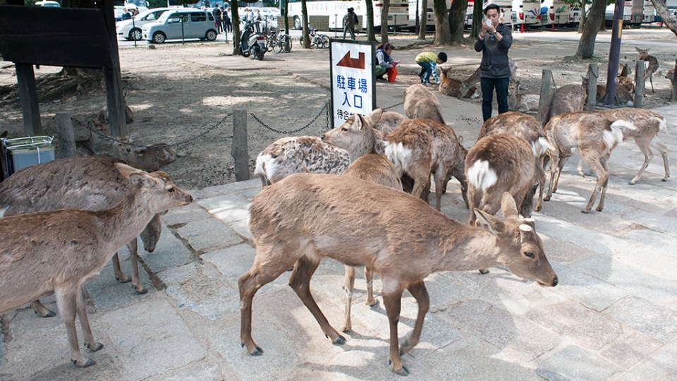 deer at Todaiji in Nara